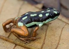 Real - The frog is real but the name is not Xerxes' doppelgänger - The frog is a Ranitomeya yavaricola found in Lato Preto, Rio Yavari, Peru....(credit to Sherri Edwards) I included the link.