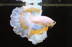 White Yellow Butterfly Betta Splendens