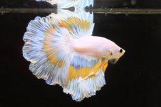 芭蕉blog   半円形に美しい尾ひれが広がるベタ・フィッシュ(ランブルフィッシュ) 15P 1V