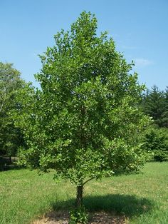 Tree to Plant- European Black Alder Alder Tree, Fast Growing Trees, Deciduous Trees, Types Of Soil, Private Garden, Summer Heat, All Plants, Trees To Plant, Shrubs