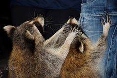 Raccoons begging for a treat Raccoons, Animals, Animales, Animaux, Animal, Animais