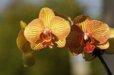 Red Phalaenopsis Orchid | Orchid - Yellow/Red Phalaenopsis | Flickr - Photo Sharing!