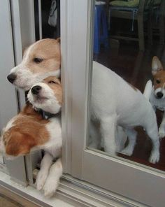 funny dogs. Jack Russell Terriers are not known for co-operative teamwork. lol