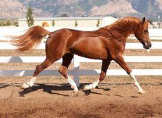 Noble Iceman   Arabian Reining Stallion