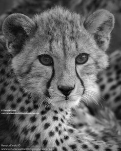 Adorable cheetah cub at Kruger National Park in South Africa  by Renata Ewald  Photography