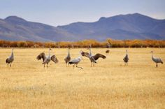 The only place I've seen the Sand Hill Cranes are at the Harriman State park in Eastern Idaho.  Another photo by Shari Hart.