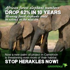 If Herakles Farms' plans for a palm oil plantation are carried out, ha of Cameroonian forest will be destroyed. And with it, a huge part of the habitat of African Forest Elephants and endangered chimpanzees. African Forest Elephant, Ivory Trade, Save The Elephants, Baby Elephants, Farm Projects, Palm Oil, Endangered Species, Animal Rights, Habitats
