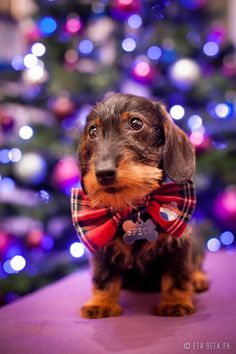 A Handsome Christmas Dachshund called Speck, looking quite dapper in his Tartan bow tie. Dachshund Funny, Dachshund Love, Daschund, Cute Puppies, Cute Dogs, Dogs And Puppies, Christmas Dog, Christmas Dachshund, Christmas Fashion