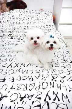 """Click visit site and Check out Cool """"Maltese"""" T-shirts. This website is excellent. Tip: You can search """"your name"""" or """"your favorite shirts"""" at search bar on the top. Teacup Maltese, Maltese Puppies, Cute Puppies, Cute Dogs, Dogs And Puppies, Malteser, Cutest Thing Ever, I Love Dogs, Animal Pictures"""