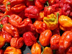 Trinidad Scorpion Butch T Chili Peppers
