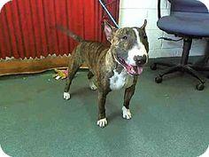 Miami, FL - Bull Terrier. Meet ROBIN a Dog for Adoption.