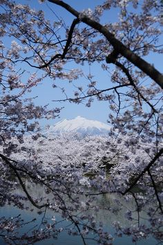 Iwaki, Cherry blossoms in full bloom, Aomori, Japan Beautiful Places In The World, What A Wonderful World, Life Is Beautiful, Wonderful Places, Aomori, Japan Travel, Wonders Of The World, Places To See, Winter