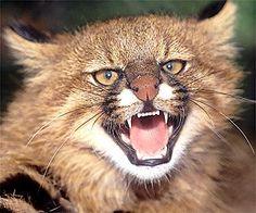 Kot pampasowy / Chilean Pampa Cat, Pampas Cat (Oncifelis colocolo)