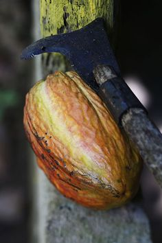 Kakaopflanze in der Dominikanischen Republik http://www.godominicanrepublic.com/rd/index.php?option=com_content&view=article&id=105&Itemid=105&lang=de