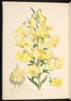 Lilium monadelphum var. szovitsianum - Botanists disagree - some insist this is more than a geographic variant and is properly L. szovitsianum - circa 1880