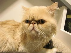 Meet Rusty, a male 7 year old #Persian - one of ten breeder-surrendered Persian cats available for adoption at OHS right now.