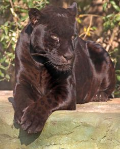 jaguar Mowgli artis by safi kok Beautiful Cats, Animals Beautiful, Baby Animals, Cute Animals, Wild Animals, Black Jaguar, Majestic Animals, Spirit Animal, Big Cats