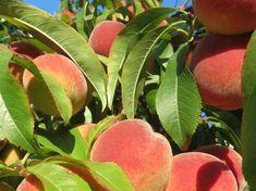 Garden Works, Peach, Fruit, Peaches