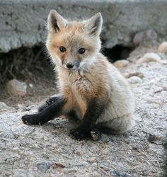 I'm a sucker for foxes...especially baby ones...who are wearing black sockses.