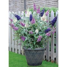 Buddleja 'Buzz™ 3 in 1' - June-Oct. 3 colours in 1. Or sold individually. 1.2m cut back in Spring