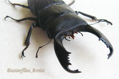 Real Giant Stag Beetle Dorcus Titanus Museum Quality In Display by ButterfliesArtist on Etsy
