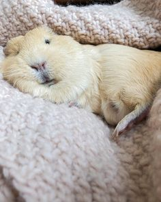 Cute Little Animals, Large Animals, Guinnea Pig, Pet Guinea Pigs, Funny Hats, Cute Piggies, Happy Animals, Puppies, Funny Animals