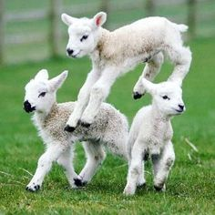 I send you forth as sheep in the midst of wolves.be wise As serpents and harmless As doves Cute Baby Animals, Farm Animals, Animals And Pets, Funny Animals, Lamb Pictures, Animal Pictures, Beautiful Creatures, Animals Beautiful, Cute Goats