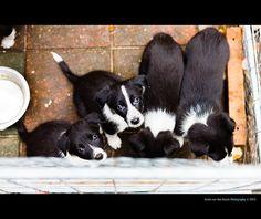 Puppies (Border Collie), asking eyes   Photo via Flickr: Erwin van den Bosch