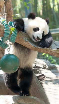 Xiao Liwu keeps in shape by playing with everything that crosses his path. Panda Wallpaper Iphone, Panda Wallpapers, Panda Love, Cute Panda, Panda Panda, Beautiful Creatures, Animals Beautiful, Baby Panda Bears, Baby Pandas