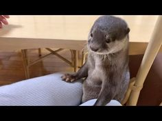Cute otter Bingo&Belle is fully spoiled by mom and dad Otters, Bingo, Mom And Dad, Dads, Cute, Youtube, Animals, Parents, Animais