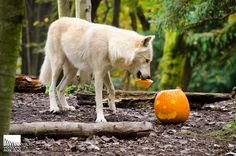 wonderous-world: The annual Pumpkin Bash at Woodland Park Zoo in Seattle, Washington gives animals, big and small, tasty pumpkin treats tha. Beautiful Wolves, Beautiful Dogs, Animals Beautiful, Woodland Park Zoo, Woodland Animals, Pet Wolf, Animals And Pets, Cute Animals, Surviving In The Wild