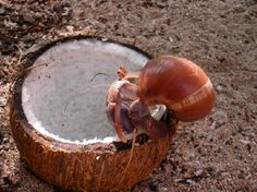 Make this natural coconut treat for your pet crab to climb and eat! #DIY - PetDIYs.com