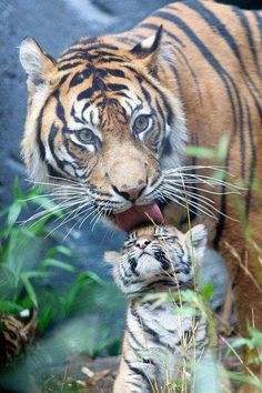 SPEAK OUT!  DEMAND A BAN ON TIGER KILLING PESTICIDE IN INDIA! Poachers in India have been using a cheap pesticide known as Carbofuran to kill tigers. They lure tigers with carcasses soaked in this lethal poison..causing the tigers to die in agony. There are only 3,200 tigers remaining in the wild today! PLZ Sign & Share!   http://forcechange.com/70221/ban-tiger-killing-pesticide/#gf_1