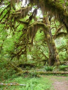 Hall of Mosses in the Hoh Rainforest.  One of the most magical places in Washington State.  You almost expect fairies to walk out.  Went for the first time in college and absolutely fell in love with the whole area.  So lush and green and AMAZING waterfalls all in the area.  Dreamy!