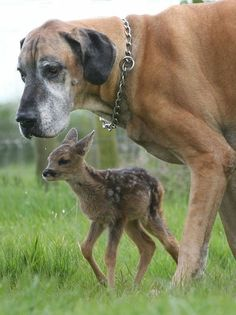 The Great Dane and His Fawn | The 21 Most Touching Interspecies Friendships You Never Thought Possible