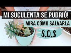 ¿Cómo salvar una suculenta podrida? Paso a paso fácil y efectivo - YouTube Cactus Y Suculentas, Succulents, Nature, Flowers, Plants, Gardening, Youtube, Ideas Para, Garden Ideas