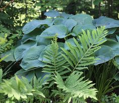 Companion Gardening Ferns-Best-Companion-Plants-for-Hostas—Longfield-Gardens - Hostas can hold their own in a shade garden, but pairing them with bulbs and other perennials will accentuate their natural beauty and extend the season. Shade Garden Plants, Hosta Plants, Shade Perennials, Foliage Plants, Potted Plants, Companion Gardening, Gardening Tips, Container Gardening, Woodland Garden