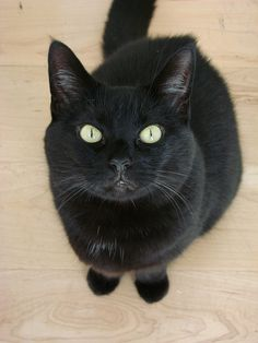 """this pretty little black cat looks just like my """"Zoe""""! Crazy Cat Lady, Crazy Cats, Kittens Cutest, Cats And Kittens, Domestic Cat, Beautiful Cats, Cool Cats, Funny Cats, Cat Lovers"""