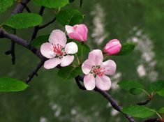 Live Life Like Apple Blossoms. Apple Blossom Tattoos, May Flowers, Beautiful Flowers, Floral Watercolor, Watercolor Painting, Live Life, Shrubs, Planting Flowers, Original Paintings