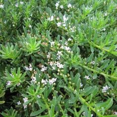 Yareena with small white flowers.