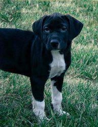 Dark Chocolate: English Setter, Dog; Marion, IN