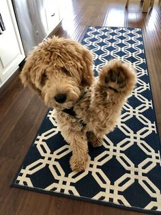 goldendoodle in this color Cute Baby Animals, Animals And Pets, Funny Animals, I Love Dogs, Cute Dogs, Cute Puppies, Doodle Dog, Yorkshire Terrier Puppies, Beagle Puppy