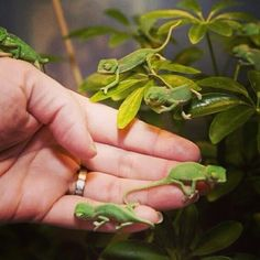 Baby chameleon