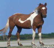 Chincoteague/Assateague Horse Breed Profile