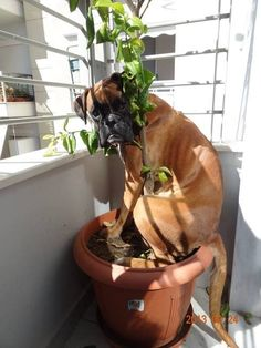 I'm hiding behind the tree, shhh act like you don't see me. #BoxerDog #FunnyBoxer