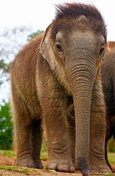 The elephant calf 'Nunai' looking fuzzy at the International Fund for Animal Welfare Rehabilitation Center in Assam, India. c. S. Barbaruah/IFAW