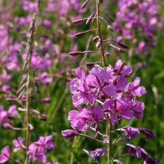 Chamaenerium angustifolium - Gederams, farve: magenta, lysforhold: sol/halvskygge, højde: 50-150 cm, blomstring: august, stor evne til at brede sig ved sideskud og frø, risiko for at 'kvæle' andre planter i haven, kan sås hele året.