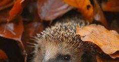 Just Pinned to Autumn: #Autumn #Hedgehog #Wildlife http://ift.tt/2nY0hbG