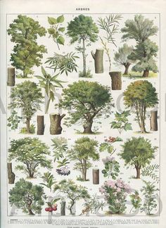 1920's french botany plate- deciduous trees summer foliage.  Linden, plate 1