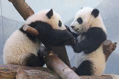 smileybears Negotiations  Mei Lun and Mei Huan - 2/9/14